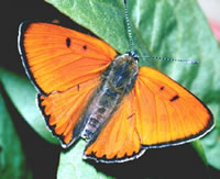 Large Copper Butterfly - Photo Courtesy of Insectcage.net